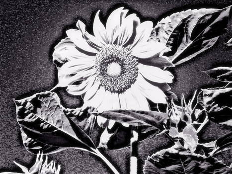 20121009210205-sunflower_at_night