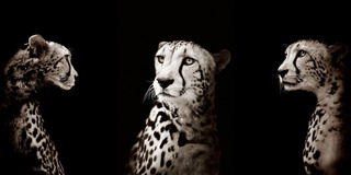20121025195921-king-cheetah-triptych