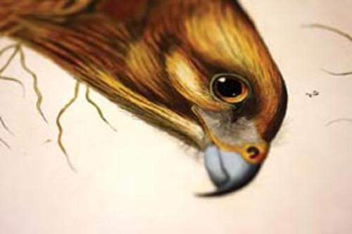 20121103034411-audubonredshoulderedhawklores