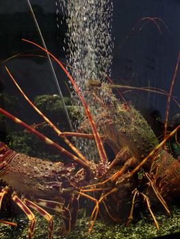 20121106005601-crayfishf