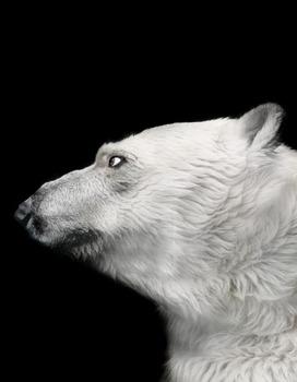 20121130005848-polar_bear