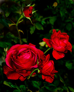 20121214142522-red_rose_