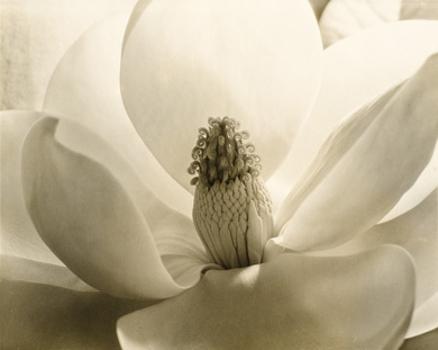 Magnolia390