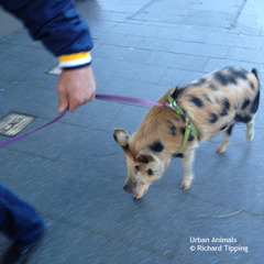 20130126074830-richard_tipping_pig_walking_redfern_lowres_rt