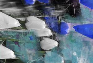 20130314043040-tulips_blue_whiteyellow