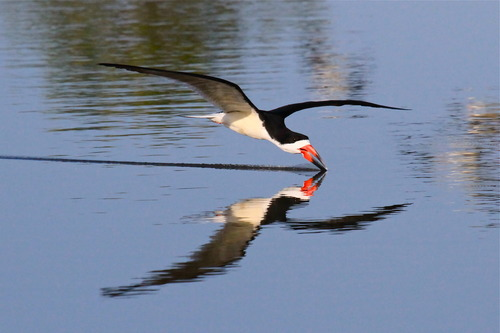 20130318184708-black_skimmer_-_san_joaquin_wildlife_sanctuary