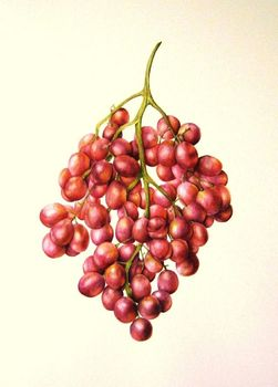 20130412094006-j_r_shepherd__2011_grapes__a3_unframed__roughly_46_x_57cm_framed__watercolour