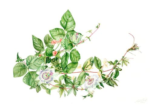 20130412095632-j_r_shepherd__climbing_plants__a3_unframed__roughly_57_x_46cm_framed__watercolour