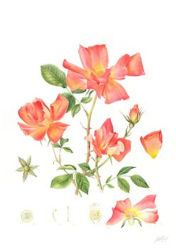 20130412100109-j_r_shepherd__rosa__playboy___a3_unframed__roughly_46_x_57cm_framed__watercolour