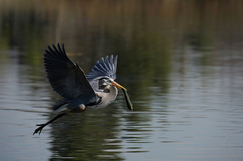 20130524040543-schuenemann_karen_heron_in_flight_3