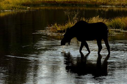 20130524041233-karenschuenemann_moose_wildlife