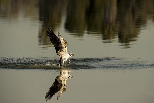 20130524043303-karenschuenemann_osprey_birds