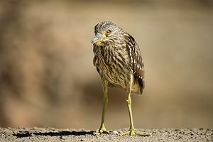 20130524043347-karenschuenemann_greenheron_birds