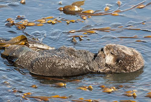 20130530133349-karenschuenemann_otter_oceans