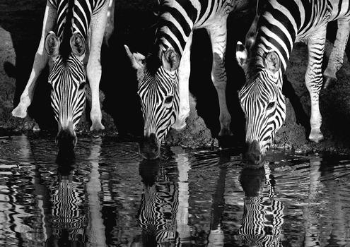 20130601223920-m1-drinking_zebra