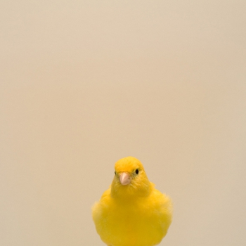 Luke_stephens_yellow_canary1
