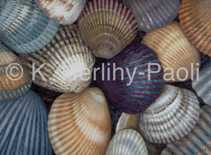 Scallop_shells