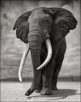 20130821141206-portrait_of_elephant_on_bare_earth__amboseli__2011__2_