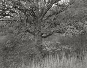 20130911195018-web_pt_oak_tree