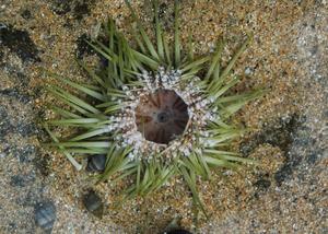 20130922221443-25open_urchin