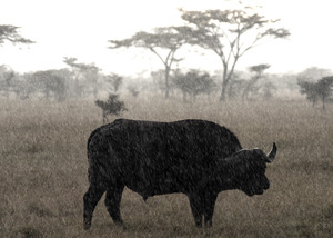 20130927175344-karen_schuenemann_cape_buffalo
