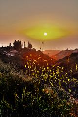 20130927180929-gelb-mustard_weed_sunset