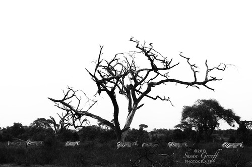 20131028153447-zebras_b_w_img_3721