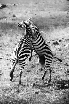 20131028153846-zebras_fighting_img_2285
