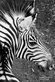 20131030091724-zebra_wildlife_1024