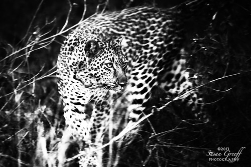 20131030094256-leopard_bw_img_2804