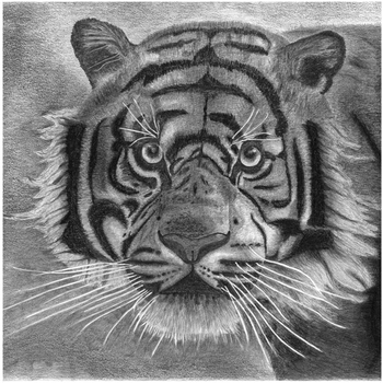 20131112175105-franz_bucher__tiger_black_and_white__2013___stampa_digitale_su_alluminio_da_disegno_a_matita__cm_50x50