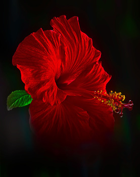 20131119161109-richard_earl_montrose-march_0229-red-on-dark-2