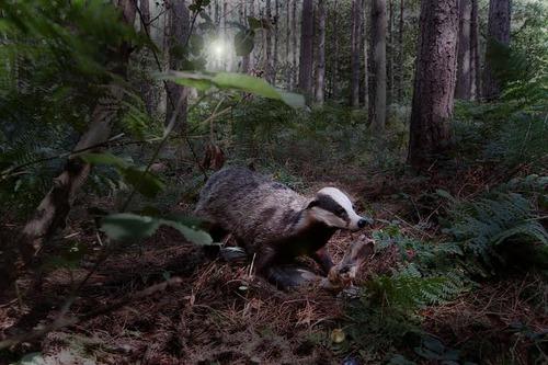 20140220212004-badger_gail_olding