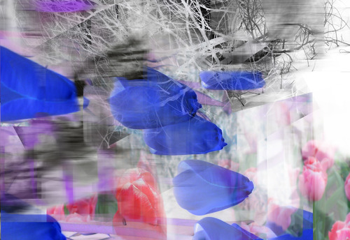 20140325234109-blue_tulips2