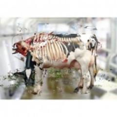 20140329102256-carcass_cow