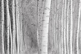 Conley_leaning_poplars