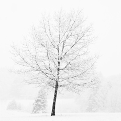 Conley_lone_tree_in_snow
