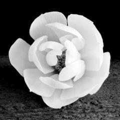 Conley_magnolia