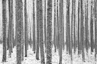 Conley_poplars_in_snow