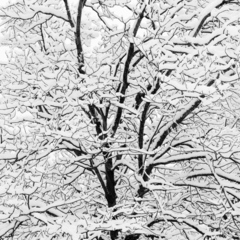Conley_snow_covered_branches