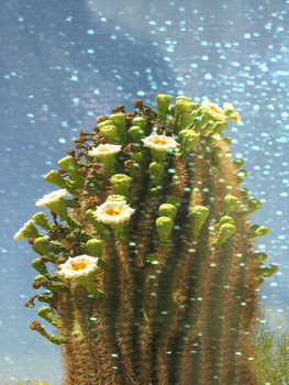 20140420233338-cactus