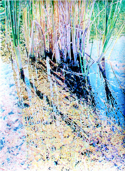 20140425172403-noble-reeds5