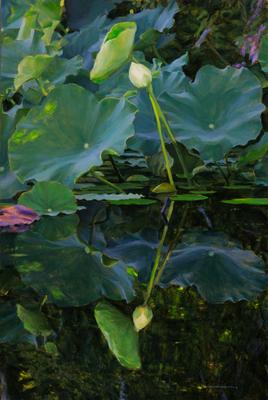 20140723144507-amidst_lotus_iv