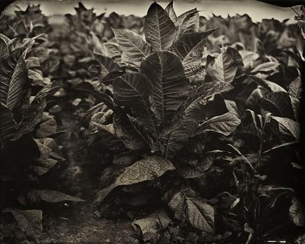 20141212194545-af_2013-08-tobacco