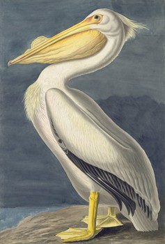 20141223093506-exhibition_311_american_white_pelican-sm-309x456