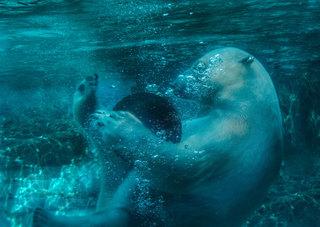 20150109173857-polar-bear-lincoln-park-zoo-nancy-bechtol-arwb