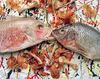 Pollockfish_semiclean
