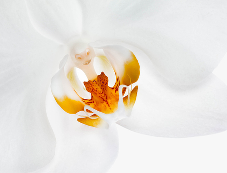 20150423161945-seifer_caryn_smiling_orchid_16x20
