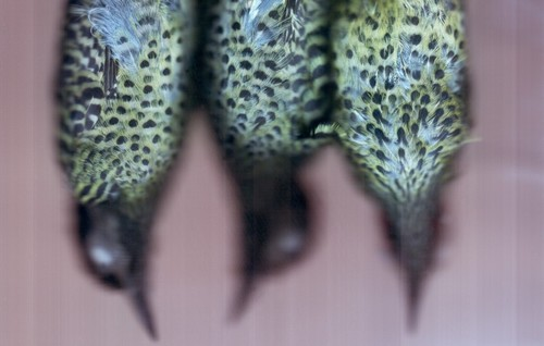 20150520080738-hamilton_green-barred-woodpecker_48770_7_edit_cg_crop-968x616