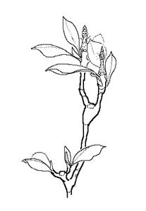 20150601065344-_1132_magnolia_x_soulangiana-big
